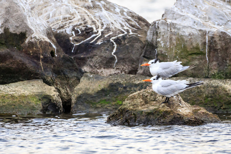 Royal Terns Bird Animal Themes Animals In The Wild Animal Wildlife Animal Vertebrate One Animal Water Rock Rock - Object Solid Nature Day Focus On Foreground No People Beauty In Nature Lake Spread Wings Waterfront Outdoors Seagull