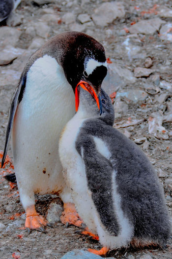 Gentoo penguin feeding chick by rocks