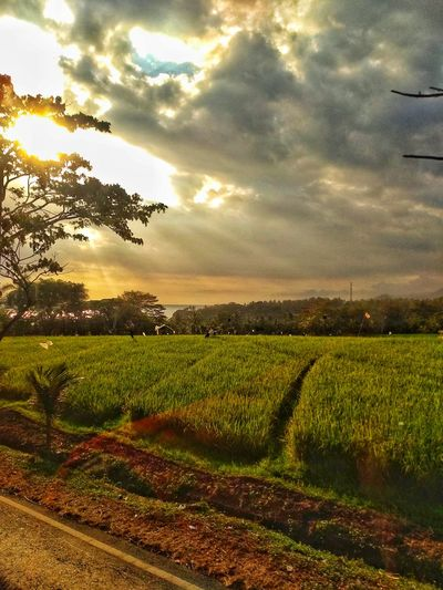 Rural Scene Tree Agriculture Sunset Field Crop  Farm Sky Landscape Cloud - Sky Rice Paddy Agricultural Field Rice - Cereal Plant Tea Crop Cultivated Terraced Field