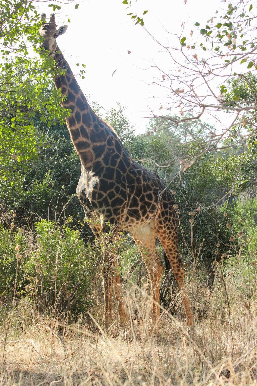 Giraffe In The Forest