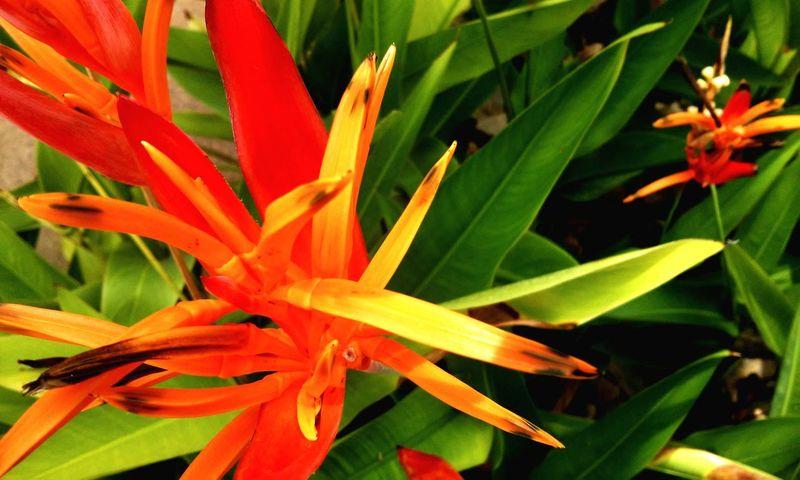 Flower Panamá Country Life Naturelovers
