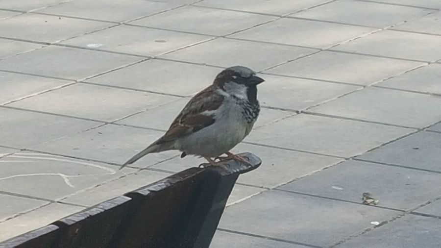 EyeEm Nature Lover Sparrow Bird Bird Sparrows Feeding One Animal Birds Of EyeEm  Animal Wildlife Perching Animals In Th Wild Animal Themes Songbird  Capture The Moment Birdphotography Sparrow Day No People No Filter