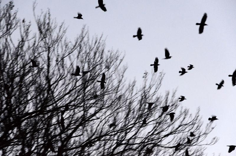 Silhouette birds flying over snow against sky