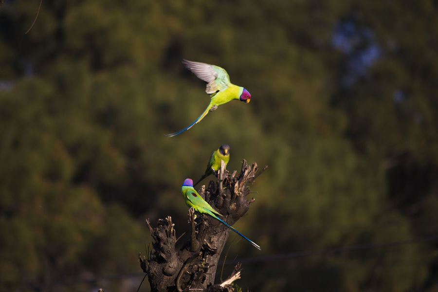 Parrot landing and joining family Animal Themes Animal Wildlife Animals In The Wild Beautiful Parrots. Open Edit. Beauty In Nature Bird Bird In A Tree Bird In Flight Most Beautiful  Most Beautiful Bird Outdoors Parrot Couple Parrot Love Parrot Lovebirds Parrot Lover Parrot Lovers Parrot With Blue Wings Parrot With Open Wildlife & Nature Wildlife Birds Wildlife Photography Fresh On Market 2017