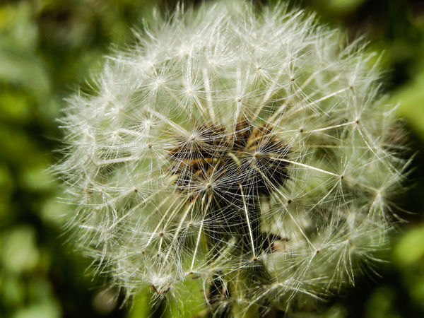 Vulnerability  Plant Dandelion Close-up Fragility Flower Beauty In Nature Growth Flowering Plant Focus On Foreground Flower Head Dandelion Seed White Color Green Color Softness Nature Outdoors Dandilions Dandelion Collection Extreme Close-up