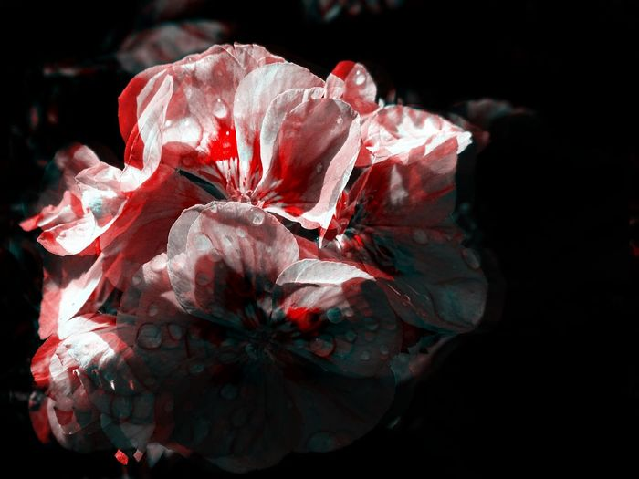 einfach schön ... just beautiful EyeEm Flowers Collection I Think It's Nice Just Beautiful  Beauty In Nature Black Background Blume Mit Tropfen Blumenfoto Blumenfotografie Close-up Einfach Schön Eyeem Flowers Flower Flower Collection Flower Head Flower With Waterdrops Flowerphotography Fragility Freshness Ich Finde Es Schön Nature Petal Plant Red Rose - Flower The Creative - 2018 EyeEm Awards