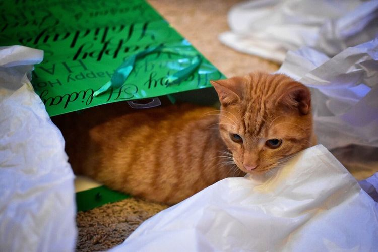 Playful Ginger Cat Indoors