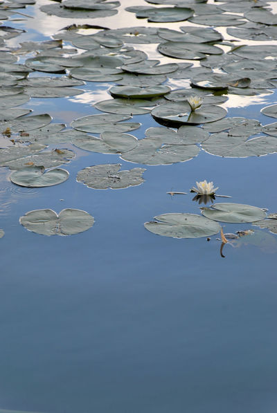European white water lily Hollidays Nymphaea Alba Water Plants White Water Lily Aquatic Flowering Plant Blue Sky Floating On Water Lake Lake Plants Lily Pad Lotus Water Lily Reflection Summer Water White Flower White Nenuphar White Water Rose