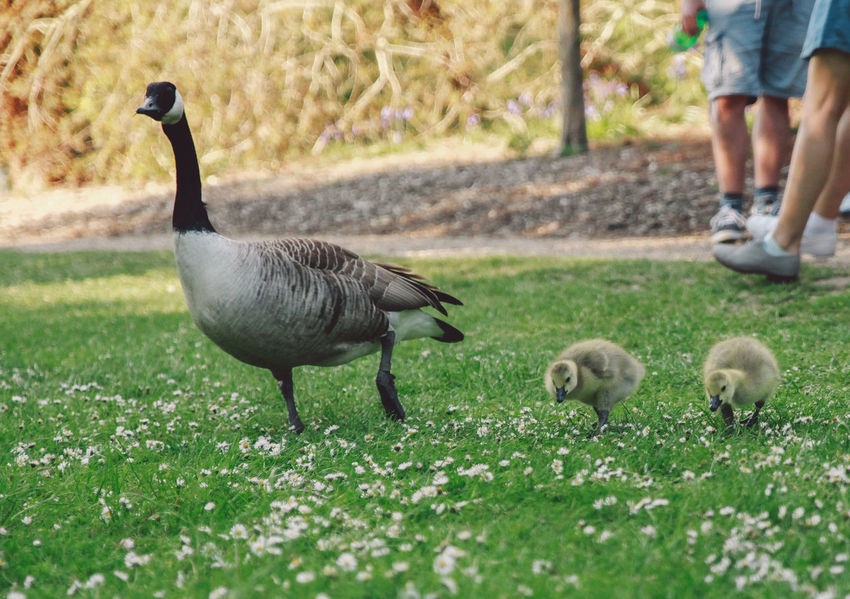 Animal Family Beauty In Nature Day Duckling Field Focus On Foreground Goose Goose Chick Goose Family Gooses Family Grass Grassy Green Color Growth Landscape Nature Nature Outdoors Park Selective Focus Spring Young Animal Two Is Better Than One