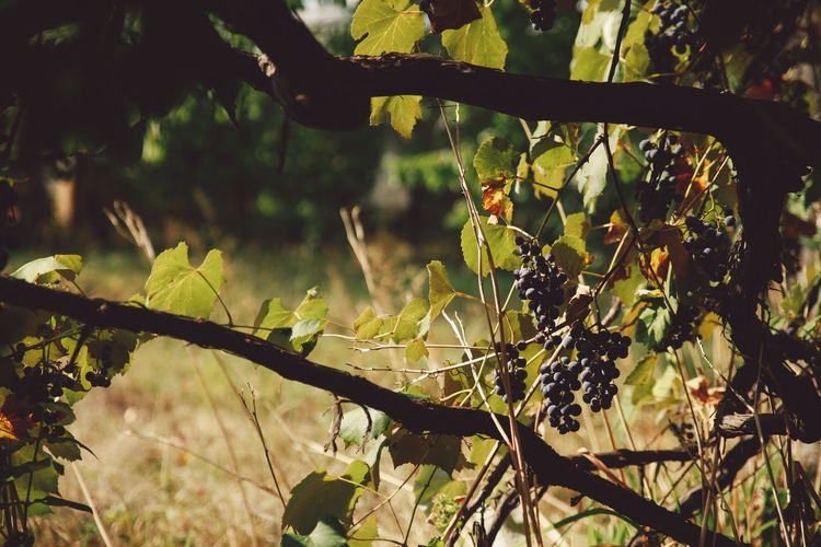Autumn Beauty In Nature Branch Close-up Day Grapes Growth Leaf Nature No People Outdoors Plant Tranquility Tree Vine Vineyard