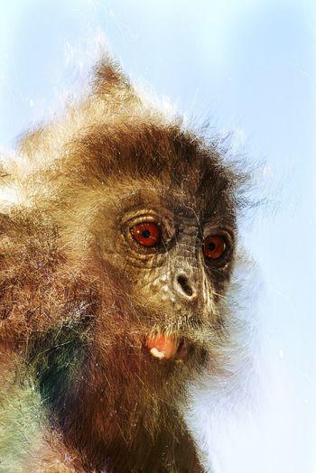Trigraphy Animal Eye Animal Wildlife Close-up Looking Mammal No People One Animal Primate Silvered Leaf Monkey Species Of Monkey