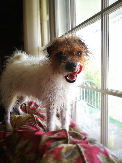 Window Dog One Animal Pets Indoors  Animal Themes Looking Through Window Day No People Domestic Animals Mammal Close-up Lick Your Lips Licking Chops Licking Nose Fuzzy Furry Sunshine Red Couch