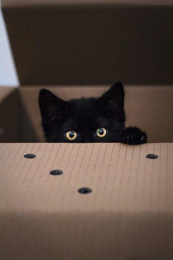 What's in the box? Whatsinthebox Peekaboo Cat Kitten Kittenoftheday Black Cat Black RSPCA Pepper Peppercat Pet Portraits