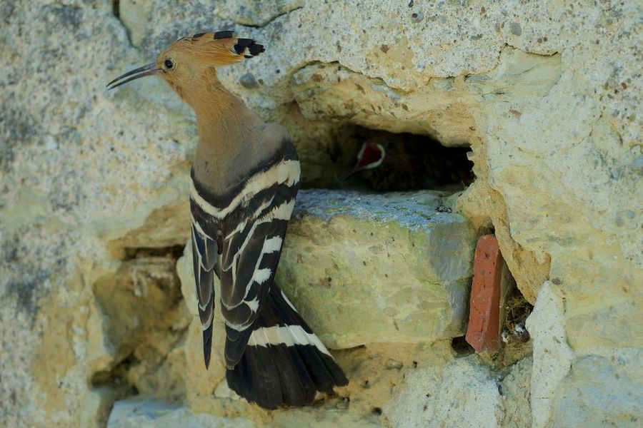 Animal Wildlife Animals In The Wild Bird Close-up Feeding Time Hop Nature Nesting Birds No People One Animal Outdoors Upupa Epops