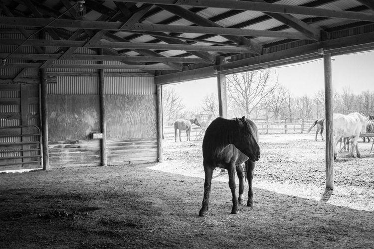 Animal Themes Bar Barn Black And White Domestic Animals Horse Indoors  Nature