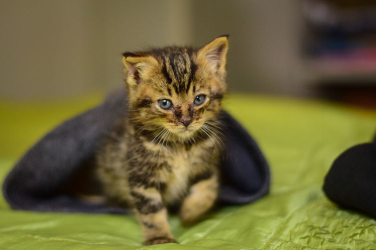 My new baby kitten Cats Of EyeEm EyeEm Best Shots EyeEm Selects Animal Animal Head  Animal Themes Cat Domestic Domestic Animals Domestic Cat Feline Indoors  Kitten Looking At Camera Mammal No People One Animal Pets Portrait Relaxation Selective Focus Sitting Tabby Whisker Young Animal