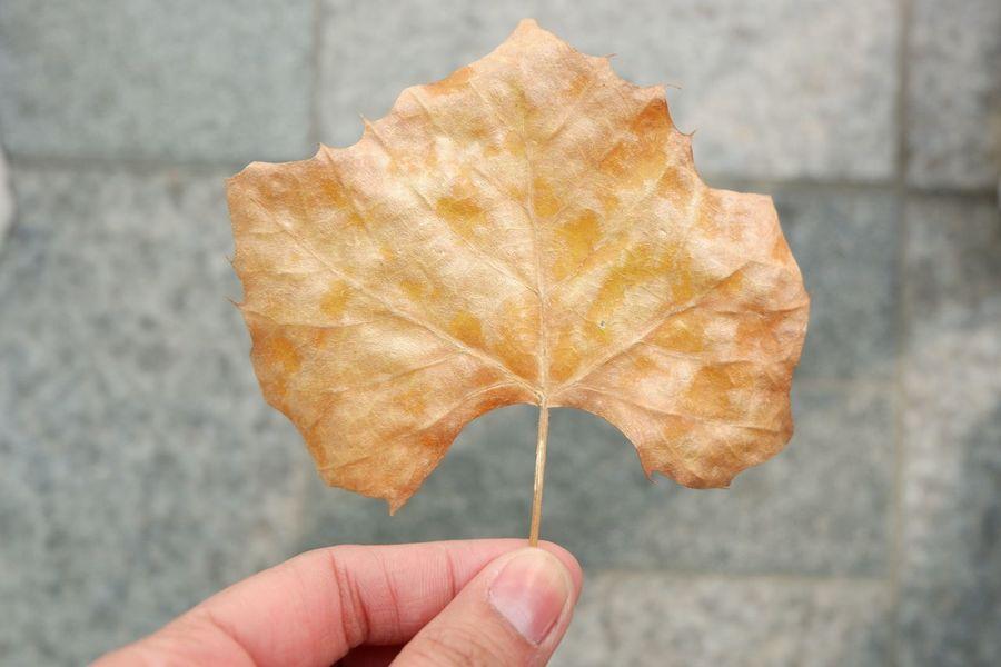 golden leaf during autumn Leaf Autumn Maple Leaf Fall