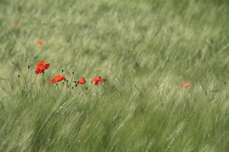 Red Poppy Flower Poppies In Cereal Field Nature Collection Cornfield The Great Outdoors - 2017 EyeEm Awards Green Color Perfect Shot Beauty In Nature Capture The Moment Eyeem4photography EyeEm Gallery Hello World Nikon_photography_ Outdoors Nature Enjoy The Nature Baden Austria Enjoying The Moment So Beautiful View Wonderful Nature Nikon_photography Wonder Of Nature Great View Agrarwirtschaft Field Flowers Be. Ready. EyeEmNewHere EyeEm Ready   Colour Your Horizn 10 The Great Outdoors - 2018 EyeEm Awards