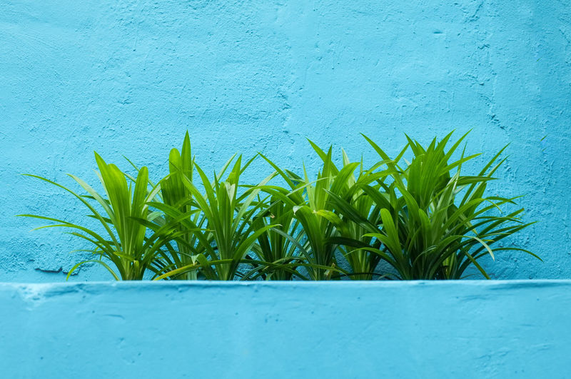 Close-up of pandan plant against blue wall