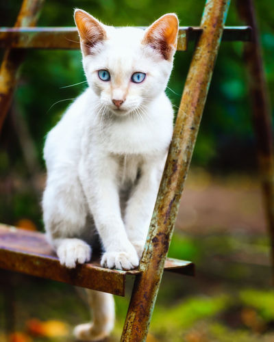 Portrait of white cat on wood