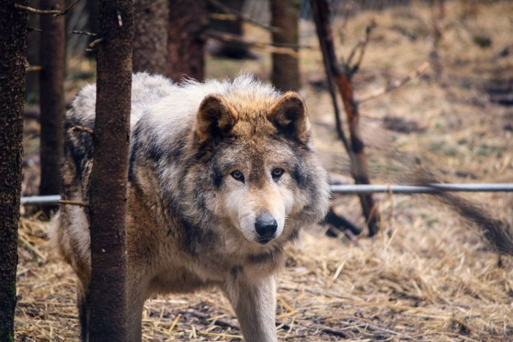 The Wolf ♡ Animal Animal Love Wolf Loup Oldwolf Refuge Beauty In Nature Beautiful Animals  EyeEmPaid