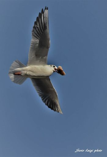 Seagull Bird Photography Bird Of Prey Bird Spread Wings Flying Clear Sky Blue Mid-air Sky Close-up Animal Themes