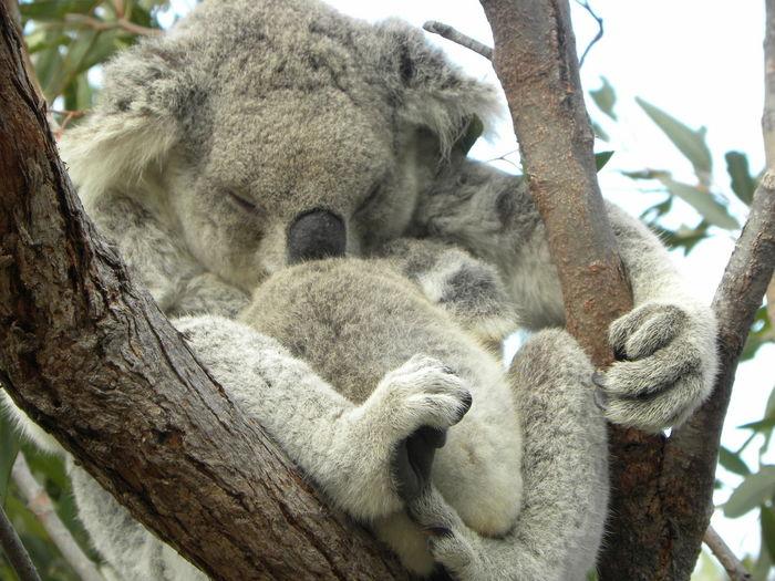 Koala sleeping on tree trunk