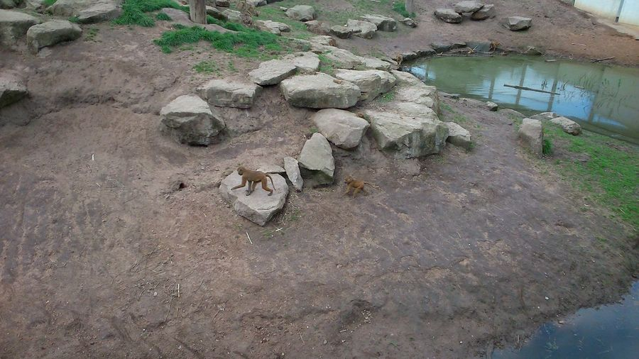 High Angle View Day No People Outdoors Animals In The Wild Nature Animal Wildlife Animal Themes One Animal Tree Reptile Mammal Baby Baboons Rocks