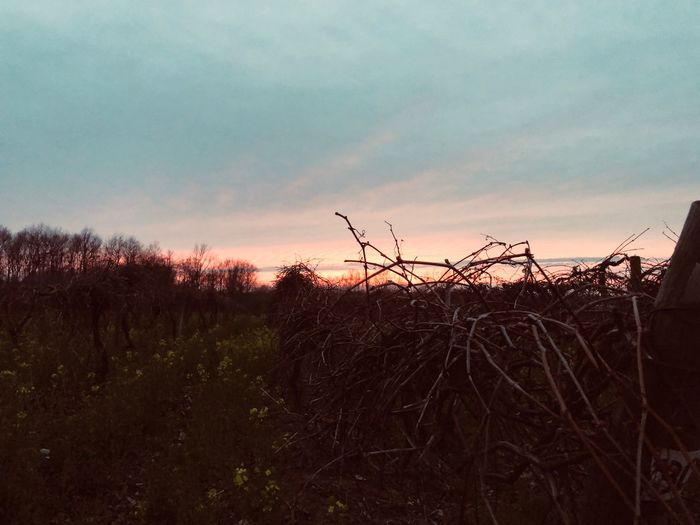 Pink light grape vine Sky Sunset Cloud - Sky Tranquil Scene Tranquility Beauty In Nature Plant Scenics - Nature Nature Silhouette Land Field No People Environment Growth Non-urban Scene Dusk Orange Color