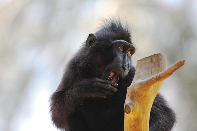 Monkey eating twig outdoors