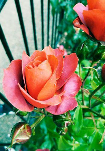 Colchester Colchester Castle Essex Summer Roses Dew Drops