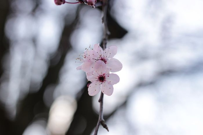 Flower Fragility Freshness Close-up Nature Beauty In Nature Petal Growth Pink Color Flower Head Outdoors Blooming Twig No People Day Branch Plum Blossom CanonEOS600D Canonphotography Canoneos Canon600D Canon Millennial Pink