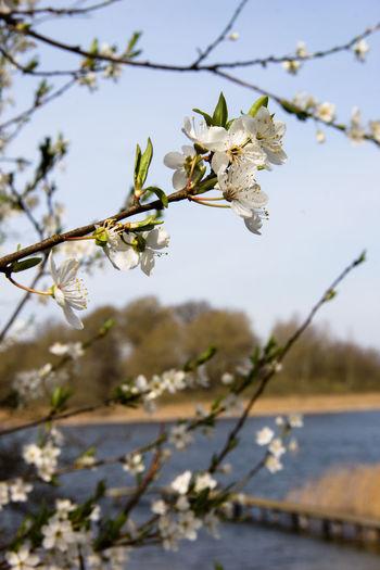 Blüten Ast Flowers See Schilf Spring Into Spring