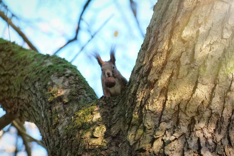 Landscape Love Happy Hungary Hobbyphotography NX300 Myhobby Colourful Branch Brown Beauty In Nature Amimal Animal Face Squirrel Squirrel Closeup Adorable Nut Tree Sky Close-up
