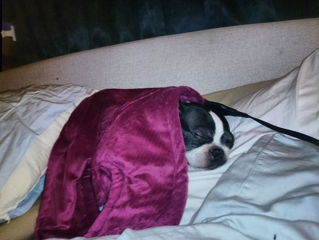 what I am about to do as soon as I get home!!! Boston Terrier, Cute, Pet, Best Friend As Shot Unedited Purist No Edit No Filter Outofthewayangles My Life Cute Pets My Dog Is Cooler Than Your Kid. Snuggles Bed Indoors  Bedroom Textile Relaxation Pillow No People Day Close-up