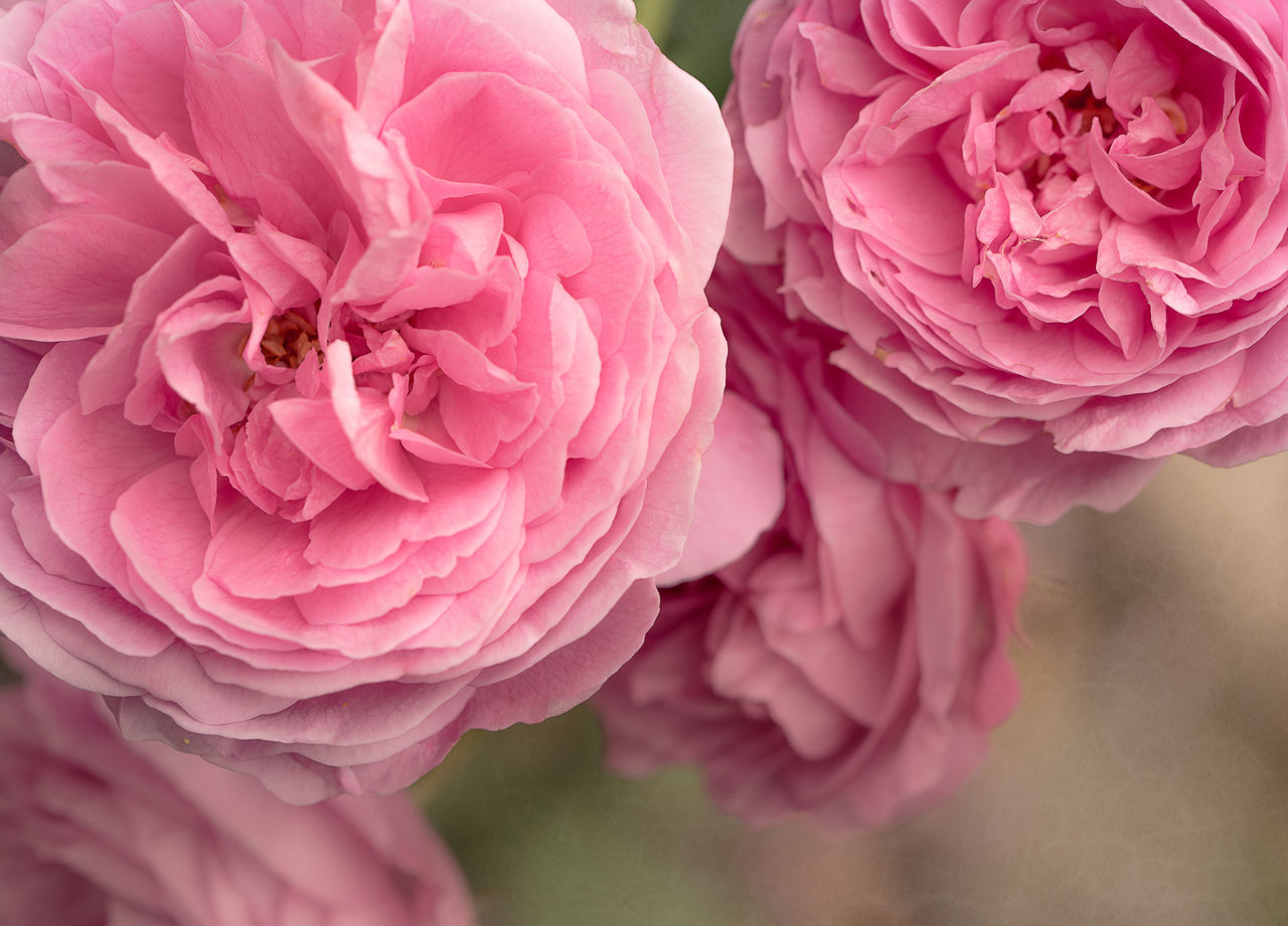Close-up Of Pink Roses Flowers