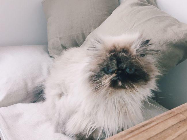 Cat Fluffy Cat Grumpy Cat Cat Is Sitting Inthekitchen