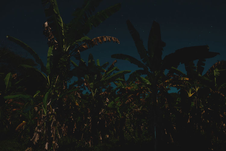 Moon Nights Cook Islands Atiu Darkness Moon MoonNights Night Photography Night Walks Nightphotography Aitutaki Banana Trees Cook Islands Dark Beauty Darkness And Light Fullmoon Haunting  Island Leaves Longtimeexposure Moonlight Mysterious Mystical Nightscape Nightsky Rarotonga Stars