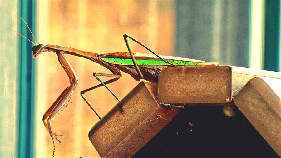 I found this BIG Preying Mantis Sitting Alone on the back of a Rocking Chair On My Front Porch. I've Never Seen one so Large or with a Flourescent Green Stripe along its Side Side View I found the Insect rather Marvelous and Fascinating Fascination Nature Beauty In Nature Art In Nature Check This Out EyeEm Nature Lover EyeEm Gallery Eyeem Nature Eyeem Insects Autumn Outdoors Outdoor Photography Life