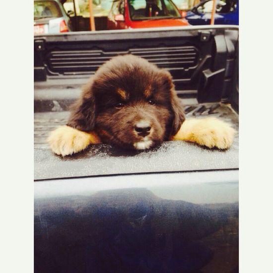 Puppy ? Tibetan Mastiff First Eyeem Photo I Love My Dog