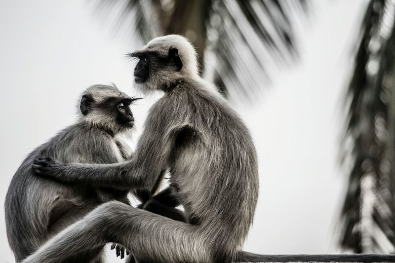 Close-up of two langurs