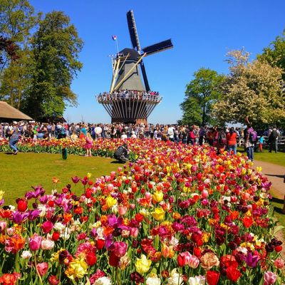 Windmill Flower Flower Head Poppy City Clear Sky Sky Botanical Garden Tulip Plant Bulb In Bloom Traditional Windmill Blossom