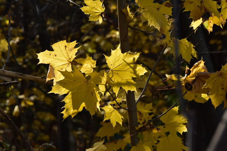 Close-up of yellow maple leaves on plant during autumn
