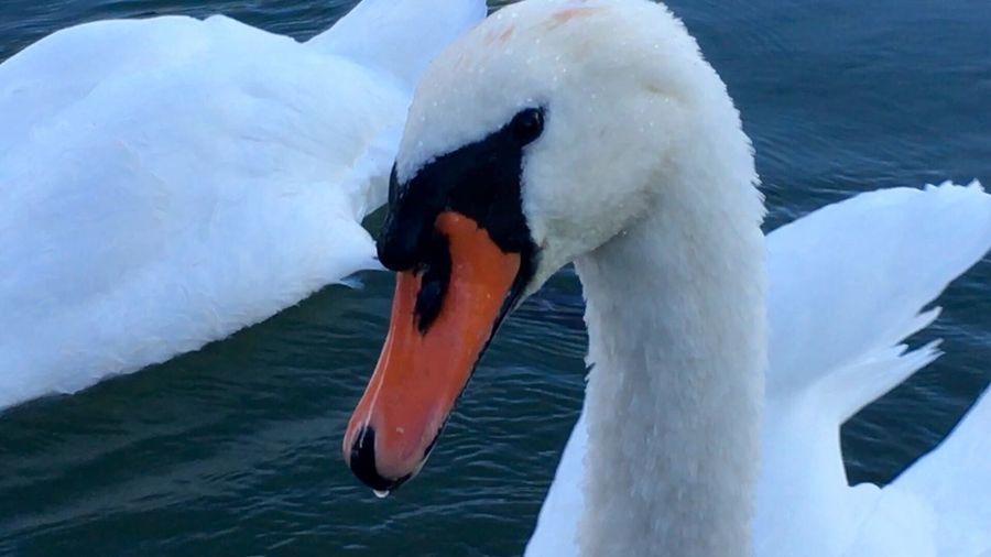 Swans Schwan  Swantastic Swans ❤ Schwäne Schwanenfamilie Swan