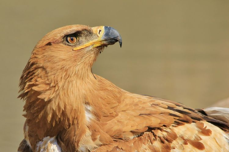 An adult Tawny Eagle scans the skies, as seen in the complete wilds of Namibia, southwestern Africa. EyeEmNewHere Golden Icon Inspire And Be Inspired✨ Magnificent Raptor Tawny Eagle  Animal Themes Animal Wildlife Animals In The Wild Beak Bird Bird Of Prey Eagle - Bird Focus On Foreground Iconic Nature Outdoors Plumage Power In Nature Protected Safari Strength Symbolic  Yellow