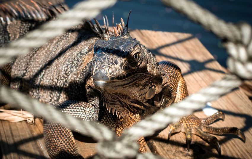 Animal Wildlife Close-up Animal Themes Reptile Iguana Cl3ar Vi3w Florida Beauty In Nature Jupiter, FL Lizard Wildlife & Nature Zoo Animals  Zoo Lizard Headshot Nikon D5200 Boo At The Zoo