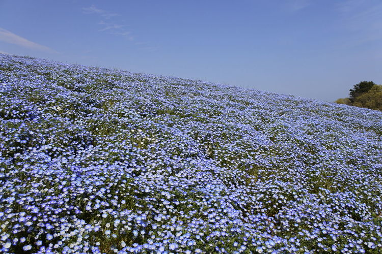 HitachiSeaSidePark Japan Nemophila Nikon Blue Chill Flower Flowers Good Times Nikonphotography Sky Spring Springtime Yellow