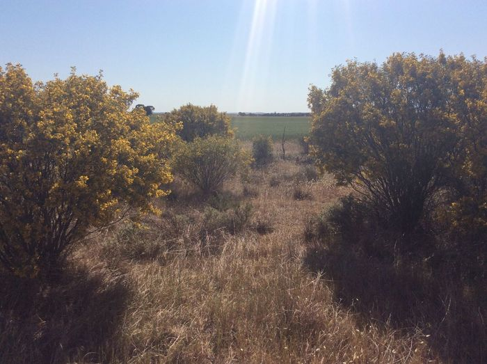 26 September 2017, Outback South Australia Fieldscape Blue Sky Landscape Nature No People Outdoors Tree Wattle Flower