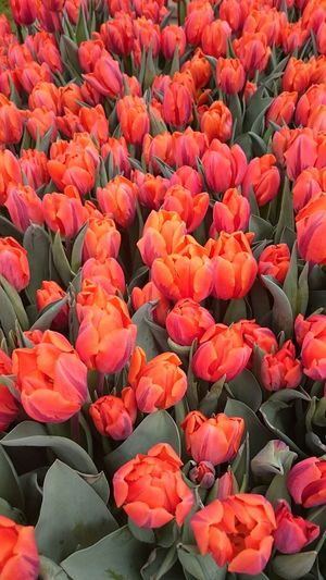 Flower Freshness Backgrounds Full Frame Tulip Beauty In Nature Fragility Petal Flower Head Close-up Vibrant Color Detail Abundance High Angle View Red Large Group Of Objects Nature Botany Plant Bloom