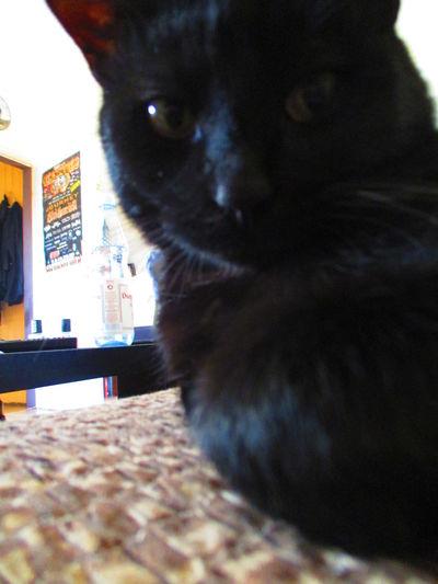 Black Cat Cat